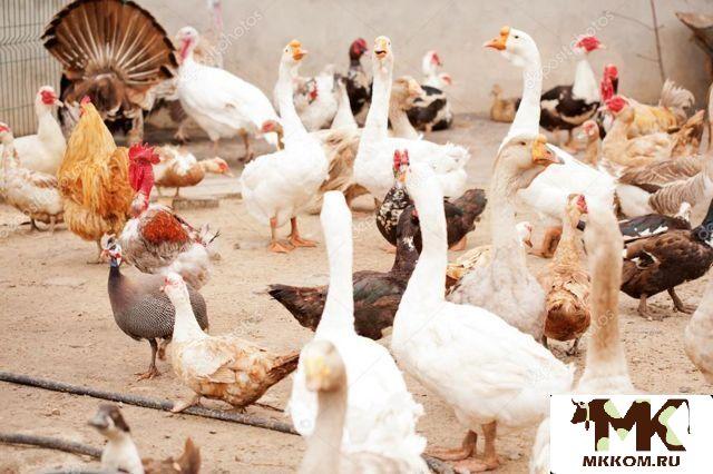 Продается мясо домашней птицы